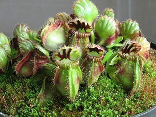 HATCHMATIC Cepha Folliculari * Carnivorous * SEHR SELTEN Australian Pitcher 3 Seeds