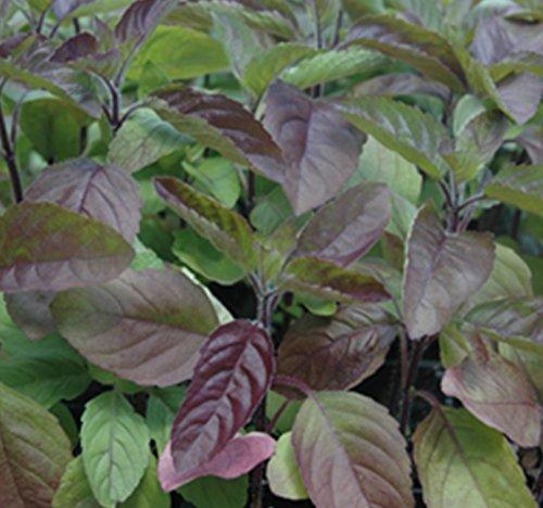 Semillas de Albahaca Roja