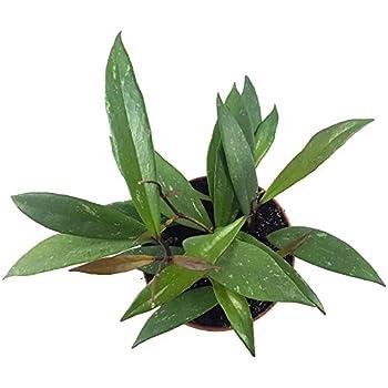 Hoya Bella - wunderschöne hängende Zimmerpflanze ebenso ...