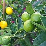 SummerRio Lemon Seeds 10/20/50 Stück/Pack Obstbaum Zitrone Samen Indoor Outdoor (20 Stück)