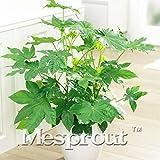 Famiglia Araliaceae Fatsia Japonica Semi 10PCS, molto popolare giapponese Semi Aralia dei cespugli, piante ornamentali Aralia Japonica Semi