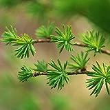 FOReverweihuajz 50Pcs Mini Tannenbaum Seeds mehrjährige Bonsai Home Garten Hof Balkon grün Dekor-Tannenbaum Samen