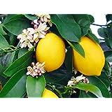 Lemon (Seedless Variety ) Live Plant निम्बू, Nimbu