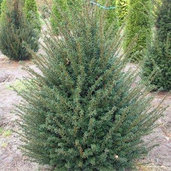 Heimische Eibe - Taxus baccata 15-30 cm, 3-4 pro m von Gartengruen24 auf Du und dein Garten