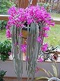 Pinkdose bonsai Cactus Fiori rosa 50 pezzi/confezione Aporocactus Flagelliformis Coda di ratto stupefacente