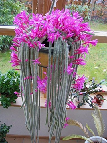 Bloom Green Co. Bonsai Kaktus Rosa Blumen 50 PC/Aporocactus flagelliformis Atemberaubende Rattenschwanz packen