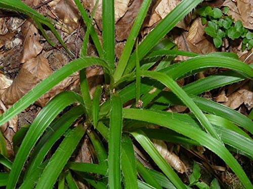 Portal Cool 25 Samen Luzule Wood (Luzula sylvatica) H114 Großholzrausch Seeds