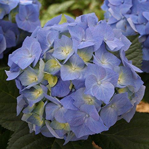 """Garten-Hortensie, rosa bis blau, Hydrangea macrophylla""""Bodensee"""", 1 Hochstamm, 1 Pflanze, 70-90 cm hoch"""