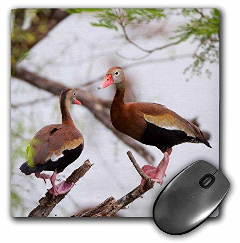 Whistling Duck (Danita Delimont - Ducks - Black-bellied Whistling Ducks in tree Starr County, Texas, USA. - MousePad (mp_207223_1))