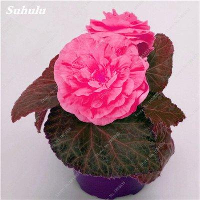 Nouveau! 150 Pcs Begonia Graines Bonsai Graines de fleurs Bonsai Maison & Jardin Flor Plantes en pot Purifier l'Office Air Bureau Fleurs 19