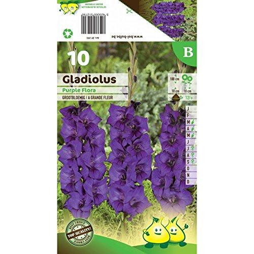 Bulbe Glaïeuls Purple Flora X10
