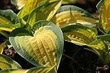 Hosta x cultorum 'Orange Marmelade' - 2 Pflanzen im 1 lt. Rundtopf