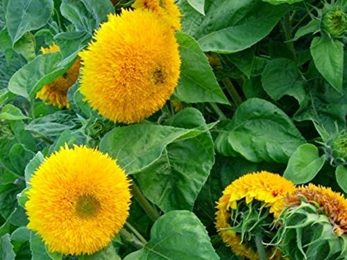 Sonnenblume - Teddybär - 20 Samen
