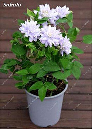 100 Pcs Clematis Graines de plantes Belle Paillage Graines de fleurs Bonsai ou un pot de fleurs vivaces pour jardin Mix Couleurs 17