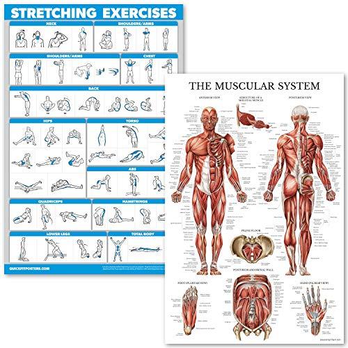 QuickFit Stretching Übungen und Muskelsystem Anatomie Poster-Set - laminiertes 2 Diagramm-Set - Stretching Workout Routine & Muskelanatomie Diagramm 45,7 x 68,6 cm, Laminated, 18