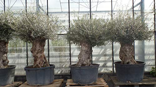 uriger, alter Olivenbaum, knorrige Olive 80-100 Jahre, winterhart
