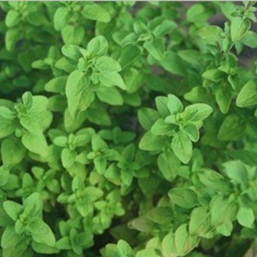 Majoran - Oreganum majorana (100 Samen)