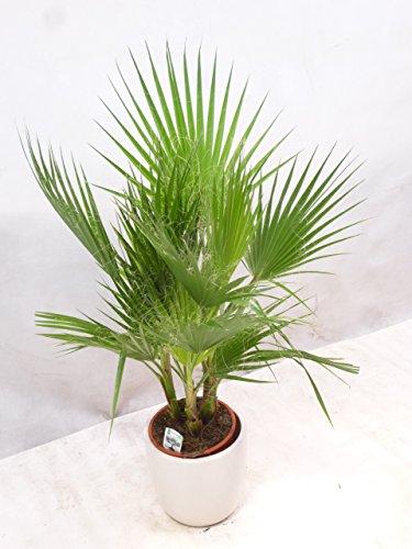 [Palmenlager] Washingtonia filifera 130 cm/Gruppe mit 4 Stämmen - Priester Palme