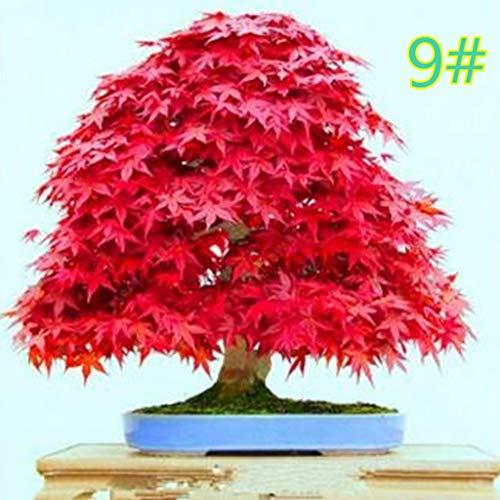 qingqingR 20 Pz Giappone Semi di Acero Bonsai Fai da Te Pianta Vaso di Fiori Foglia Colorata Arredamento per La Casa Creativo Mini Giardinaggio Decorazione Facile Allevamento 9#