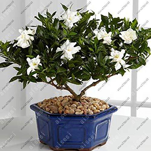 Pinkdose Bonsai Gardenia (Capo Jasmine) piante -DIY giardino della casa in vaso, odore stupefacente & amp; bellissimi fiori per camera: 2 lampadine