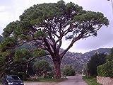 Mittelmeer-Pinie Saatgut (Pinus pinea) -Selber essbare Pinienkerne züchten-
