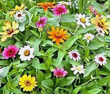 Fash Lady 100 + ZINNIA ELEGANS MIX Seeds 8 couleurs vives papillons abeilles fleurs anciennes
