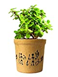 #9: Rolling Nature Good Luck Jade Plant In Round Dew Ceramic Pot