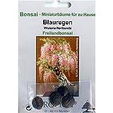Bonsai - 4 Samen von Wisteria floribunda, Blauregen, 90004