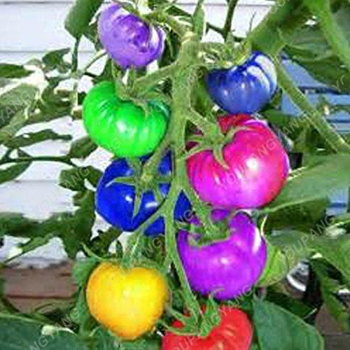 """100Samen Tomate""""Giant Big Beef Hybrid Tomaten Samen in Bonsai no-gmo Gemüse Samen für Home Garten Pflanzen"""