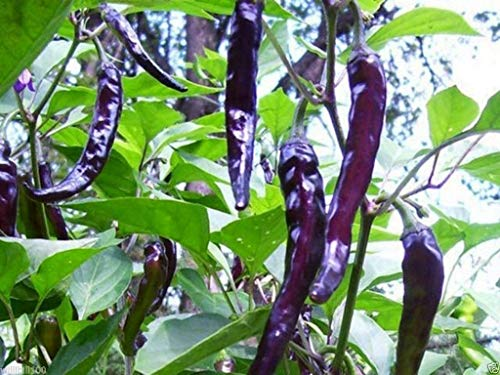 Virtue 10 Seeds: Cayenne Pepper Seeds (Purple/Black) HEIRLOOM-OPEN POLLINATED -Gorgeous and tasty(10 Seeds)