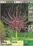 Rarität: Allium schuberti