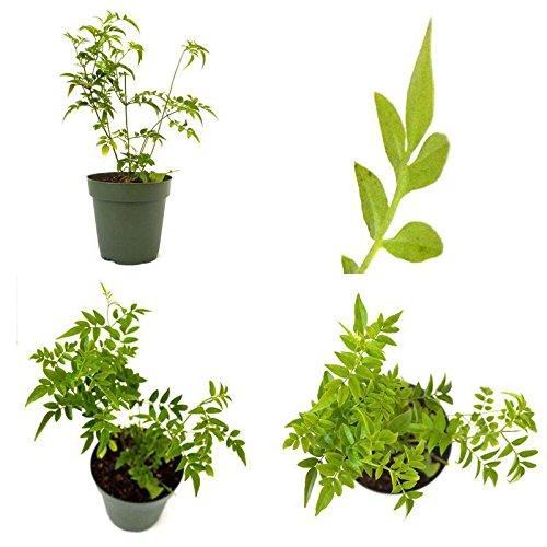 Seeds: Rosa Jasmin Samen Jasminum polyanthum Fragrant Pot Indoor Outdoor