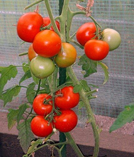 Tomaten Phantasia resistente Stabtomate Samen
