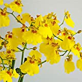 #8: Green Gardens Oncidium Orchid Plant Yellow Dancing Lady 1 Healthy Live Plant on pot