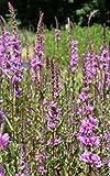 fertig im Pflanzkorb - Lythrum salicaria - winterhart - Blutweiderich - Rutenweiderich, rot - Wasserpflanzen Wolff