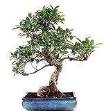 Bonsai - Ficus microcarpa (retusa), Chinesische Feige 196/21