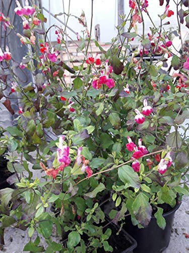 Portal Cool Samen Paket: 6 Hot-Plug-Lippen Perennial Plants - Wide-hot-plug