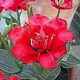 "40x Tulpe Rotkäppchen ""Double Red Riding Hood"" Mehrjährig, mit Roter Blüte"