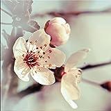 artissimo, Glasbild, 20x20cm, AG1356A, Kirschblüten I, Blumen Pastell, Bild aus Glas, Moderne Wanddekoration aus Glas, Wandbild Wohnzimmer modern