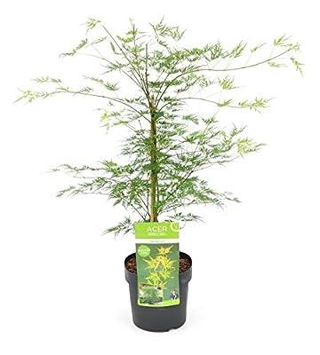Japanischer Fächerahorn- Acer palmatum 'Emerald Lace'- Gesamthöhe: 60-80cm, Topf: 3 ltr. von GardenPalms auf Du und dein Garten