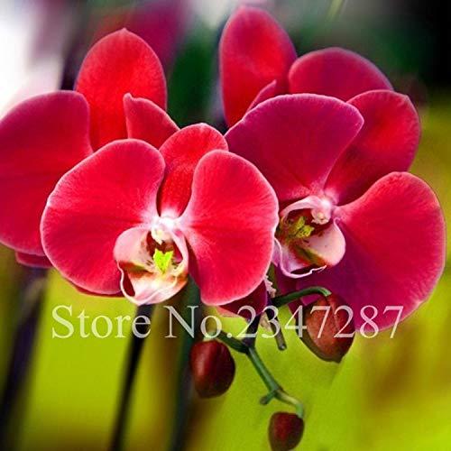 Neue schöne rote Phalaenopsis-Orchideen-Blume Bonsai Schmetterling Blume Pflanze Ziergarten Phalaenopsis Orchidee 100 PC-Rot(Nur Samen)