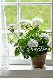 VISTARIC ampoules Real renoncules, bulbes de fleurs belles plantes en pot, (graines de renoncules), plantes vivaces bonsaïs jardin bulbeuse Racine - 1 7 pièces