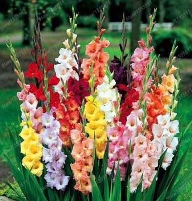 Vero gladiolo fiore di gladiolo