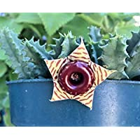 Portal Cool Vivir Huernia Zebrina Planta de Cactus Salvavidas