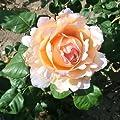 Duftjuwel® syn. Forster Rosentraum® Edelrose Container 7 Liter von Rosarot Pflanzenversand - Du und dein Garten