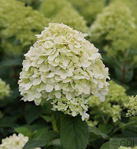 Hochstamm Rispenhortensie Limelight® 60-80cm - Hydrangea paniculata