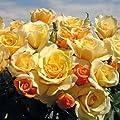 """Edelrose """"Sunny Sky®"""" - honiggelb blühende Topfrose im 6 L Topf - frisch aus der Gärtnerei - Pflanzen-Kölle Gartenrose von Kölle's Beste auf Du und dein Garten"""