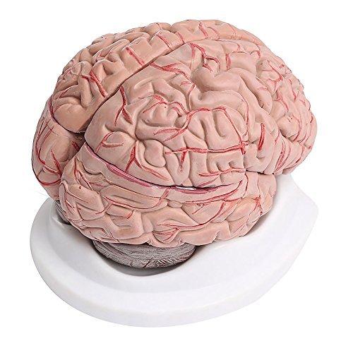 8 Teilig Menschliches Gehirn mit Arterien Anatomie Modell