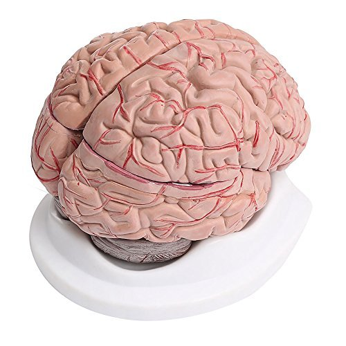 8-Part Human Brain with Arteries Anatomical Anatomy Model