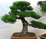 100PCS / BAG seltenen Regenbogen-Eukalyptus deglupta Samen, Bonsai-Baum Samen vergossen Hof Anlage für Hausgarten senden Sie Geschenk